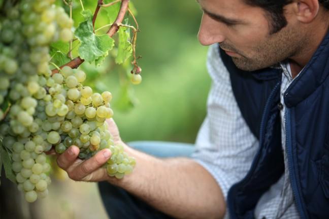 Examining grapes