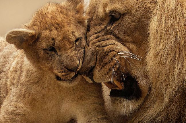 Lion daddy and baby.jpg