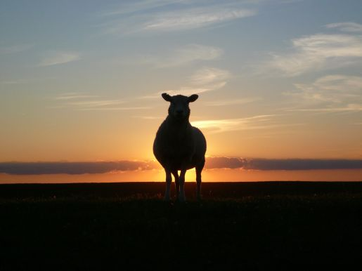 Sheep sunset