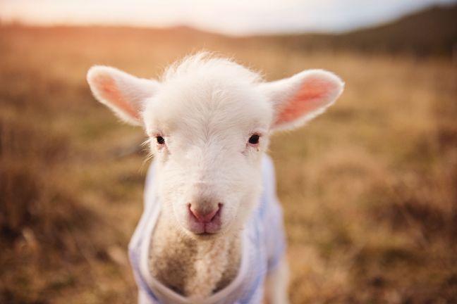 Sheep baby