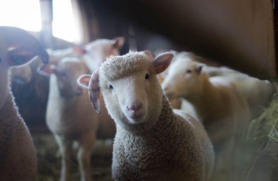 Sheep light