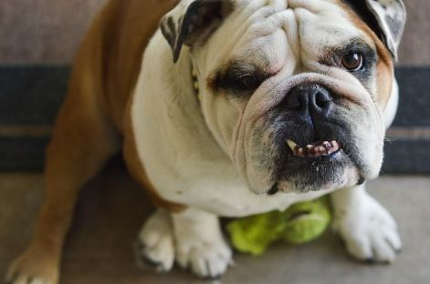 bulldog-1768006_640