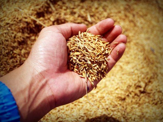 Wheat abundance