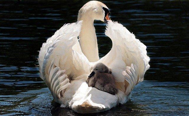 swan-2350668_640